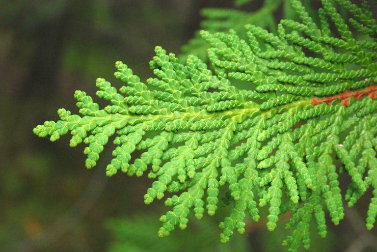 Arborvitae ēteriskā eļļa (Thuja plicata), 5ml