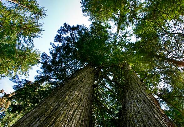 Ciedrkoka ēteriskā eļļa (Juniperus virginiana), 15ml