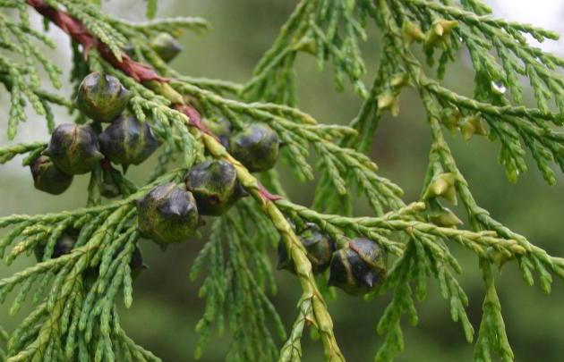 Cipreses ēteriskā eļļa (Cupressus sempervirens), 15ml
