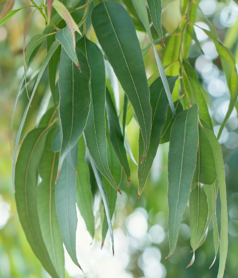 Eikalipta ēteriskā eļļa (Eucalyptus radiata), 15ml