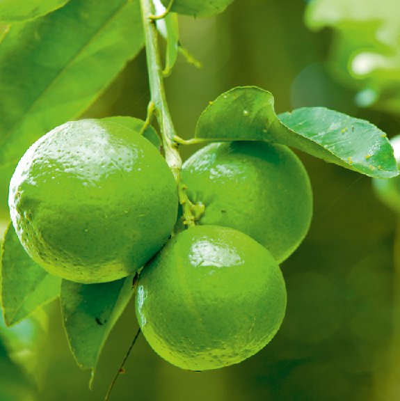 Laima ēteriskā eļļa (Citrus aurantifolia), 15ml