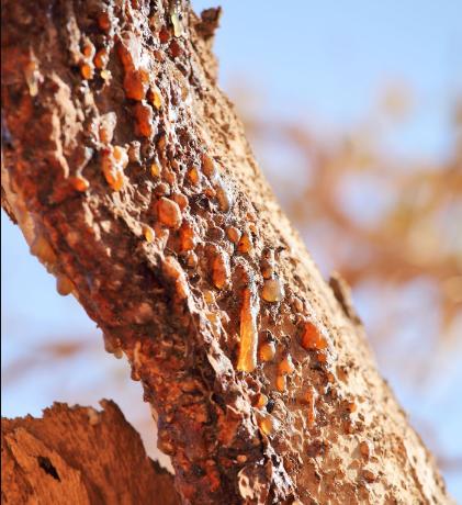 Mirres ēteriskā eļļa (Commiphora myrrha), 15ml