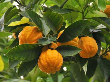 Petitgrain jeb rūgtā apelsīna ēteriskā eļļa (Citrus aurantium), 15ml