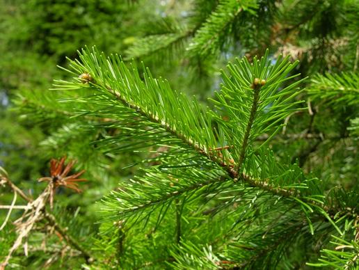 Sibīrijas egles ēteriskā eļļa (Abies sibirica), 15ml