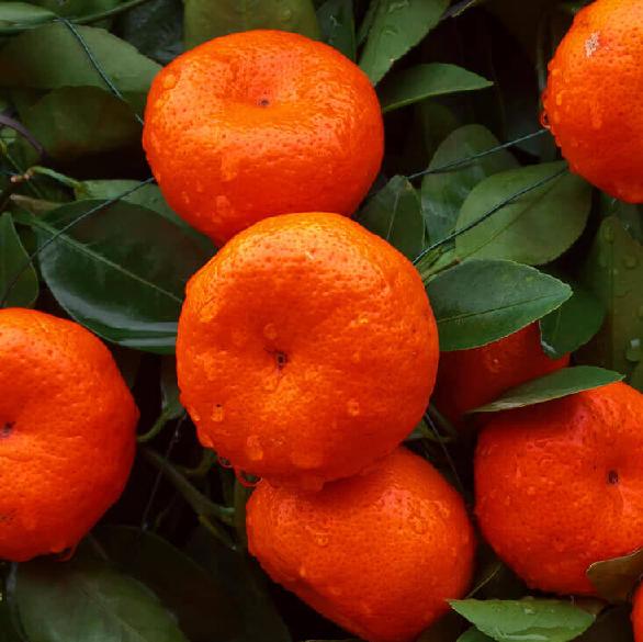 Mandarīna ēteriskā eļļa (Citrus reticulata), 15ml