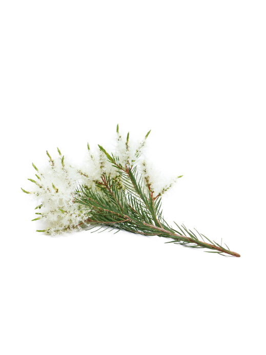 Tējaskoka ēteriskā eļļa (Melaleuca alternifolia), 15ml
