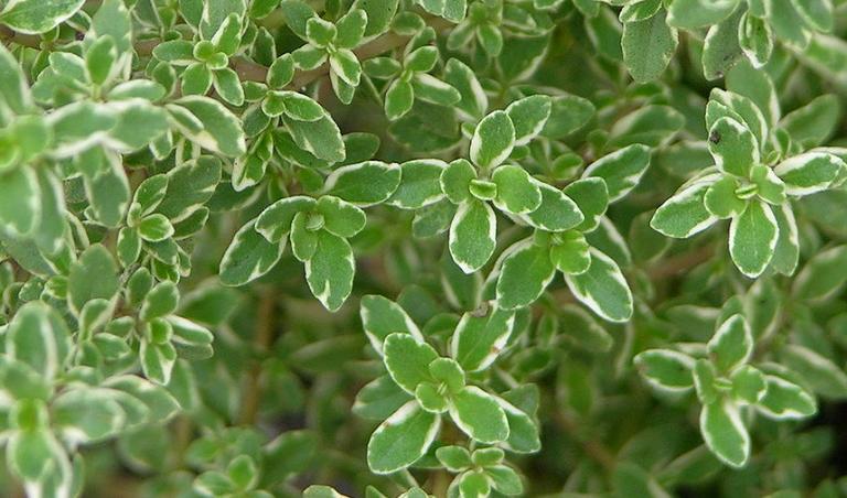 Timiāna ēteriskā eļļa (Thymus vulgaris). 15ml