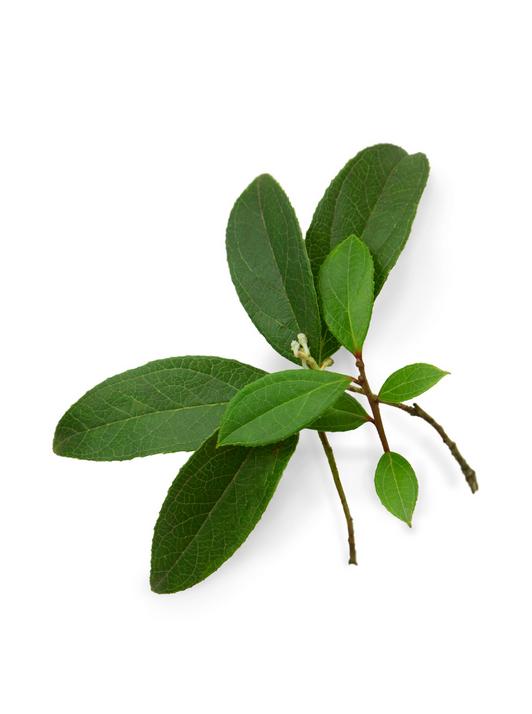 Wintergreen ēteriskā eļļa - Nepālas (Gaultheria fragrantissima), 15ml